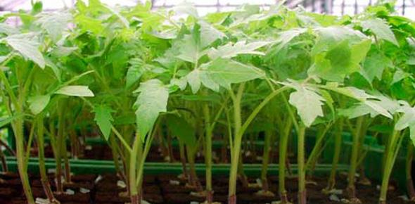 Мой бизнес по выращиванию овощной рассады