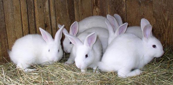 Насколько перспективно разведение кроликов как бизнес