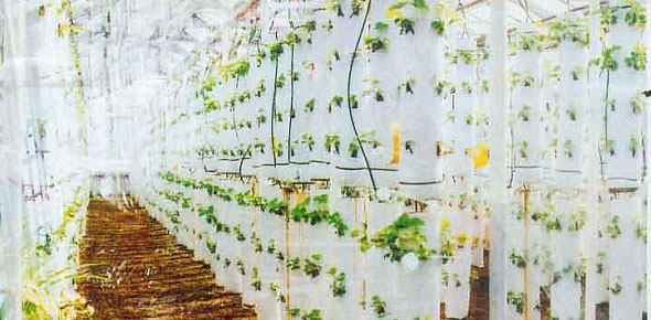 Выращивание клубники круглый год