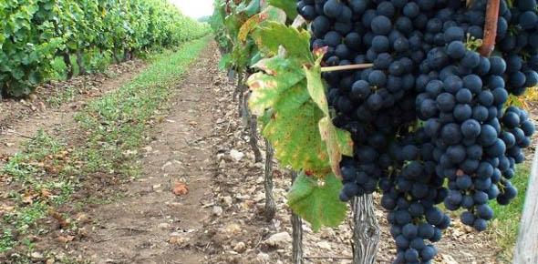 Бизнес на винограде — перспективная идея